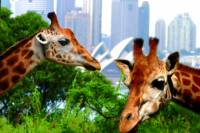 3-Day Sydney Harbour Hop-On Hop-Off Cruise Pass Including Taronga Zoo Entry