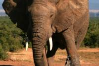 5-Day Garden Route Adventure Tour: Addo National Park, Jeffreys Bay, Wilderness National Park, Cango Wildlife Ranch and Oudtshoorn