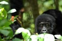 5 Days Rwanda Uganda Gorilla Tour