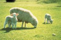 Akaroa Shore Excursion: Banks Peninsula, Christchurch City Tour and Sheep Farm Tour