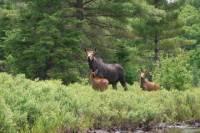Algonquin Park Wildlife Safari 4-Day Canoe Trip