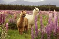 Alpaca Farm Tour from Fairlie