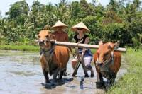 Balinese Daily Life Tour: Live Like A Farmer