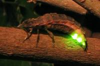 Fireflies Watching Tour at Tai Po Kau Nature Reserve