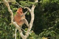 Full-Day Sepilok Orangutan and Labuk Bay Proboscis Monkey from Sandakan