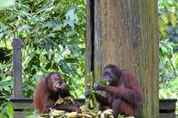 Full-Day Sepilok Orangutan Center and Sandakan City