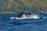 Juneau Shore Excursion: Whale-Watching Adventure