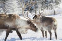 Lapland Reindeer Safari from Rovaniemi Including Husky Sled Ride