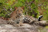 Overnight Leopard Safari with Luxury Tented Camping