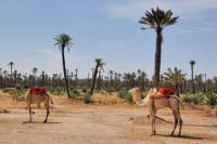 Palmeraie Sunset Camel Ride Experience from Marrakech