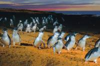 Phillip Island: Penguins, Koalas and Kangaroos Day Tour from Melbourne