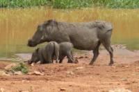 Pilanesberg Safari Day Trip from Johannesburg or Pretoria
