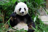 Private Tour: Day Trip to Panda Highlights in and Around Chengdu