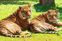 Private Tour: Interactive Mae Rim Tiger Kingdom Tour from Chiang Mai