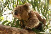 Private Tour: Phillip Island, Penguin Parade and Koala Conservation Centre from Melbourne