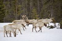 Reindeer Sleigh Ride from Luosto