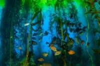 Scuba Diving in Giant Kelp Forest
