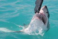 Shark Cage Diving and Viewing in Kleinbaai