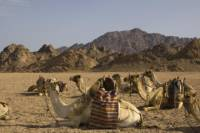Sinai Desert Camel Day Trek to Matamir and Nawamis including Bedouin Lunch from Sharm el Sheikh