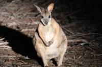 Small-Group Kangaroo Island 4WD Night Tour