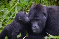 The Grand West to North Rwanda Exploration: 9 days Tracking the Nyungwe rainforest Primates and the Mountain Gorillas