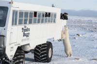 Tundra Buggy Adventure Day Tour from Churchill