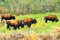 Mountain Buffalo Half-Day Tour from Yellowknife