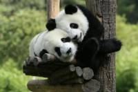 Zhouzhi Panda Visit Day Tour from Xi'an