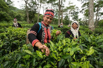 2-Hour Araksa Tea Plantation Tour