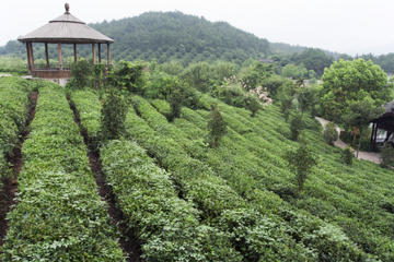 4-Day Hangzhou Private Tour: West Lake and Longjing Tea Plantation