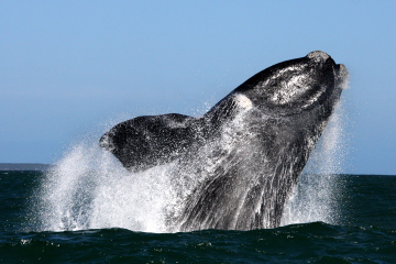 Boat Based Whale Watching from Gansbaai