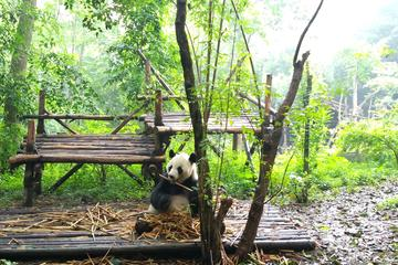 Chengdu Impressions Day Tour including the Sichuan Cuisine Museum and Giant Pandas