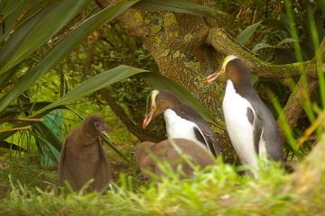 Dunedin Shore Excursion: Dunedin and Otago Peninsula Wildlife Tour with Optional Larnach Castle Visit