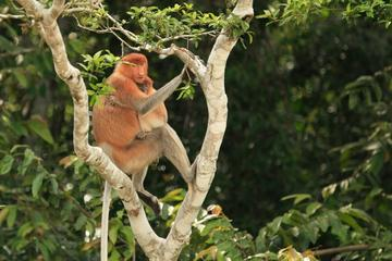 Full-Day Sepilok Orangutan and Labuk Bay Proboscis Monkey from Sandakan