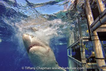 Great White Shark Dives