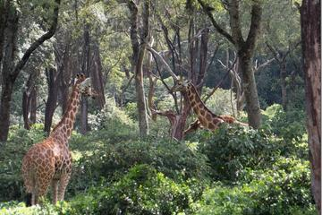 Half Day Tour Karen Blixen Museum, Giraffe Manor and Daphne Sheldrick Elephant Orphanage from Nairobi