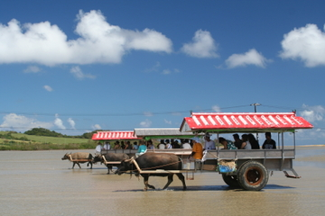 Iriomote, Yubu and Taketomi Island Tour Including Water Buffalo Cart Ride