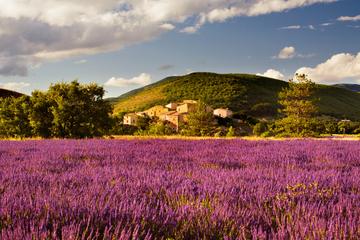 Lavender Fields Tour from Avignon