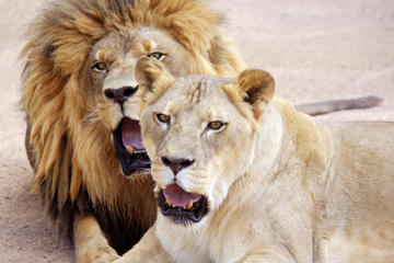 Lion Habitat Ranch: General Admission, Private Tour or Lion Tamer For a Day