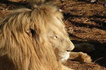 Lion Park Tour from Johannesburg