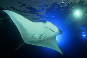 Manta Ray Night Snorkel Kona Big Island