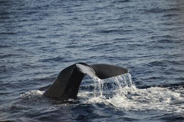 Mega Bite Whale and Dolphin Watching in Dominica