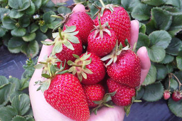 Mornington Peninsula including Strawberry Farm Day Tour from Melbourne