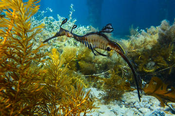 Mornington Peninsula Small-Group Seadragon Snorkel Tour