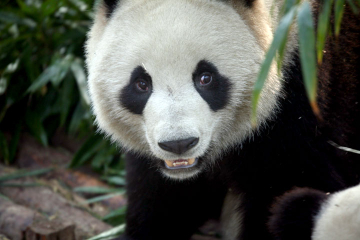 Private Tour: 2-Day Chengdu Tour with Pandas and Leshan Giant Buddha