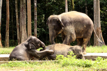 Private Tour: Elephant Orphanage Sanctuary Day Tour from Kuala Lumpur