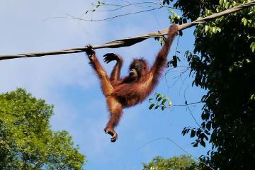 Private Tour: Orangutan and Sun Bear Conservation Centers with River Cruise