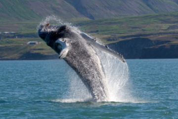 Reykjavik Shore Excursion: Whale Safari and Puffin Island Cruise