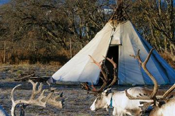 Sami Culture and Reindeer Tour with Optional Transport from Tromso