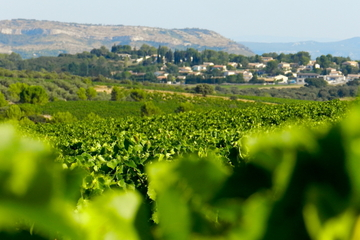 Small-Group Languedoc Wine and Olive Tour with lunch from Montpellier